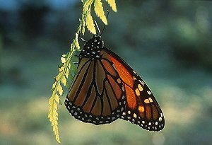 Monarch butterfly (c) David Liebmann